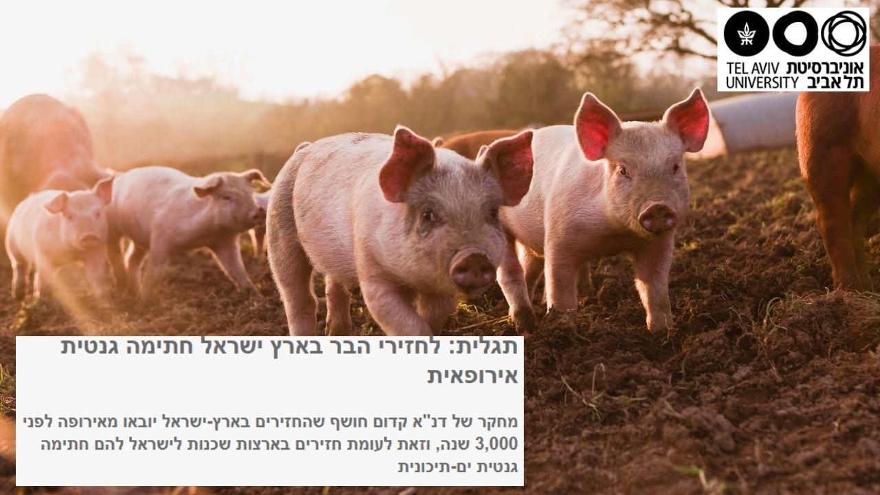 קיבוץ להב: חזירים ים תיכוניים או אירופאים? | אוניברסיטת תל אביב