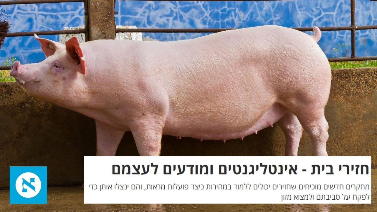 הארץ | קיבוץ להב | חזירים אינטליגנטים ובעלי יכולת למידה